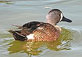 032 - BLUE-WINGED TEAL (3-26-13) mustang island, nueces co, tx (2) (8711185293).jpg