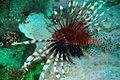 07-EastTimor-Advanced Dive-05 05 (Lion Fish)-APiazza.JPG