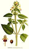 100 Galeopsis speciosa.jpg