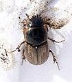 15 03 09 (90) Coleoptera (3357677882).jpg