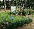 1 Arusha botanical gardens with Pyrenicantha malvifolia.jpg