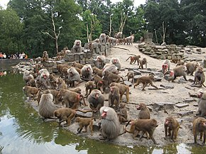 A large troop of Hamadrayas baboons. The females are brown and shorthaired, whereas the males are white and longhaired.