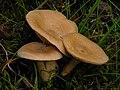 2009-08-16 Lactarius glyciosmus (Fr.) Fr 53964.jpg