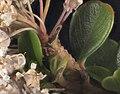 2014-03-21-21.51.44 ZS PMax Ceanothus cuneatus (Hook.) Nutt. var. ramulosus (Syn C. ramulosus) (13334121324).jpg