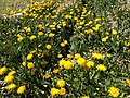 2014-05-02 13 23 43 Dandelions in Elko, Nevada.JPG