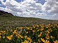 2014-06-24 12 13 38 Wildflowers along Elko County Route 748 (Charleston-Jarbidge Road) in the eastern part of Copper Basin, Nevada.jpg