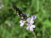 20140807Verbena officinalis2.jpg
