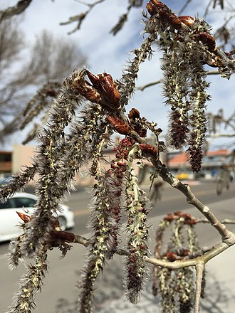 Populus tremuloides - Aspen catkins in spring