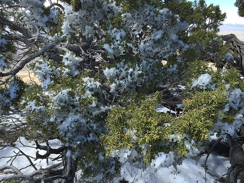 File:2015-04-26 13 51 17 Partially melted and then refrozen snow on Utah Juniper foliage at the summit of Grindstone Mountain, Nevada.jpg