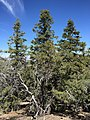 2015-04-28 11 48 34 Older White Firs on the south wall of Maverick Canyon, Nevada.jpg