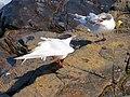 2016-08-17 Sterna dougallii, St Marys Island, Northumberland 05.jpg