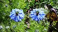 20160528 Whitstable - Nigella damascena 2.jpg