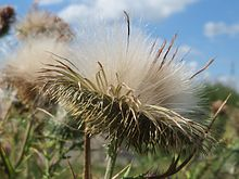 Photograph of mature seed head, showing fluffy pappi