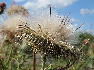 Cirsium vulgare - Seedhead
