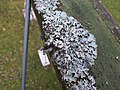 2018-01-12 (103) Hypogymnia physodes (lichen) on a children swing at Haltgraben in Frankenfels.jpg