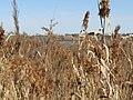 2018-02-07 Reed beds, Salgados Nature Reserve.JPG