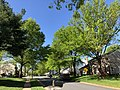 2019-04-27 16 24 39 Pin Oaks leafing out in mid-Spring along Thorngate Drive near Thorngate Court in the Franklin Farm section of Oak Hill, Fairfax County, Virginia.jpg