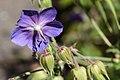 2019-07-24 Geranium-palustre-flower.jpg