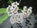 20200613Valeriana officinalis1.jpg