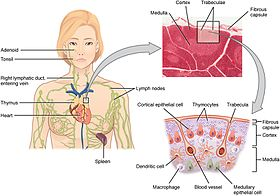 2206 The Location Structure and Histology of the Thymus.jpg