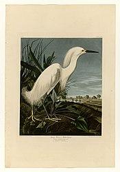 John James Audubon: Snowy Heron or White Egret