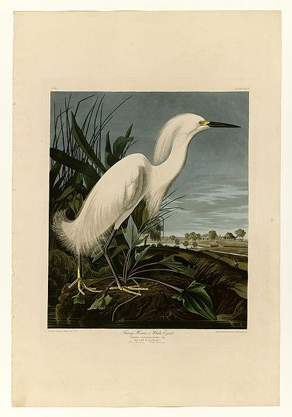 File:242 Snowy Heron or White Egret.jpg