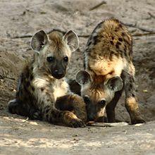Cuccioli di iena maculata nei pressi della tana.