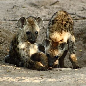 Spotted hyena cubs at their den 2667 Spotted Hyena Cubs.JPG