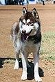 3218-siberian-husky-dog (19881570453).jpg