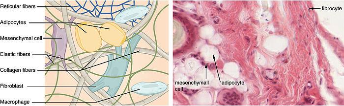Pojivová tkáň