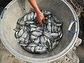 5798Isla Babatnin Malolos Bulacan Harvesting Fishes 04.jpg