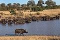 8634 S Africa buffaloes JF.jpg