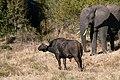 8748 S Africa buffel elephant JF.jpg