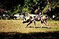 AFRICAN WILD DOG (14053560414).jpg