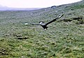 A Great Skua begins its attack in Gleann Mor - geograph.org.uk - 721549.jpg