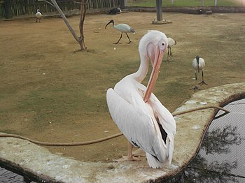 A Pelican cleaning his fur.jpg