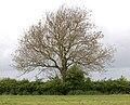 A bare tree near Broadwell - geograph.org.uk - 1305459.jpg