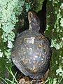 A box turtle hiding in a tree at Mason Neck (14322263815).jpg