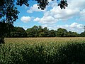 A field of maize - geograph.org.uk - 231188.jpg