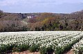 A field of white narcissus near Playing Place - geograph.org.uk - 1265953.jpg