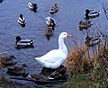 A goose at Milton Loch - geograph.org.uk - 1620428.jpg