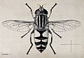 A hoverfly or dronefly (Helophilus trivittatus). Pen and ink Wellcome V0022582.jpg