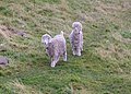 A lovely pair of Angora goats, near Berriedale - geograph.org.uk - 614062.jpg
