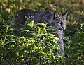A lynx seen in Denali on June 11, 2019. (2f3eb722-1c0e-4ffe-b3b5-e09bea767122).JPG