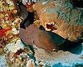 A moray eel. The Red Sea.jpg