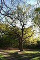 A pair of Oaks, Southborough Common - geograph.org.uk - 1276567.jpg