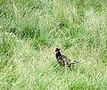 A pheasant in a Cynwyd garden - geograph.org.uk - 469784.jpg