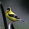 A poser goldfinch (3863963277).jpg