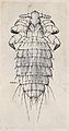 A type of louse (Polyplax spinulosa). Pen and ink drawing by Wellcome V0022604.jpg