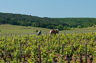 French wine - Vineyards in Vosne-Romanée in Burgundy, a village that is the source of some of France's most expensive wines.